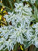Euphorbia marginata 'Summer Icicle'