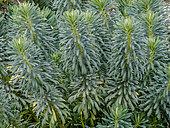 Euphorbia characias var. wulfenii 'Perry's Winter Blusher'