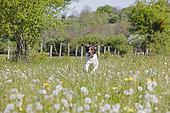 Small münsterländer running in a blooming meadow, Jura, France