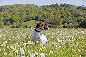 Small münsterländer sitting in a blooming meadow, Jura, France