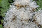 Cirsium diacanthus
