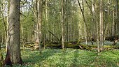 Marque rouge signalant que cet épicéa va être abattu en sous-bois de la réserve intégrale du Parc National de Bialowiéza, Pologne
