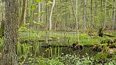 Pond in undergrowth of the Bialowiéza National Park Nature Reserve, Poland