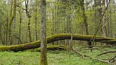 Undergrowth of the Bialowiéza National Park Nature Reserve, Poland