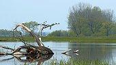 Barn Swallow (Hirundo rustica) migrating on a jam, Biebrza National Park, Poland