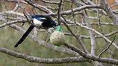 Black-billed Magpie (Pica pica) attracted by a ball of fat, Vaucluse, France