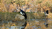Black-billed Magpie (Pica pica) at the edge of a spring pool, Vaucluse, France