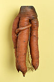Carrots (Daucus carota) strange shape on yellow background