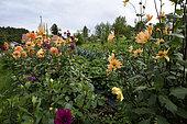 dahlias, The Gardens of Bernadette, producer of medicinal or conditional plants, Le Haut du Tot, Vagney, Vosges, France