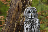 Great grey owl (Strix nebulosa), Sainte Croix wildlife park, Moselle, Rhodes, France