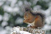 Squirrel (Sciurus vulgaris) sitting on a tree stump in the snow, Haren, Emsland, Lower Saxony, Germany, Europe