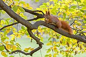 Squirrel (Sciurus vulgaris), foraging, walnut, in autumn, Saxony, Germany, Europe