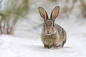 Wild rabbit (Oryctolagus cuniculus), beach dunes, Mecklenburg-Vorpommern, Germany, Europe