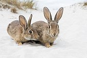 Wild rabbits (Oryctolagus cuniculus), beach dunes, Mecklenburg-Vorpommern, Germany, Europe