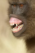 Gelada baboon (Theropithecus gelada) female showing fear, Sankaber, Ethiopia
