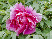 Pivoine en arbre 'Shiko Den' en fleur dans un jardin