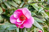 Camellia williamsii 'St. Ewe' (GBR) 1947