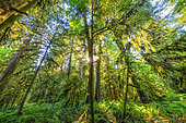 Old-growth forest, Avatar Grove. Avatar Grove is a protected area near Renfrew Harbor, home to huge Douglas, Thuya, and Sitka, species that formed the original rainforest, now 90% destroyed, Vancouver Island, British Columbia, Canada
