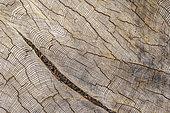 Section de pin Douglas (Pseudotsuga menziesii) géant dans un secteur de coupe à blanc. Cet individu devait mesurer 70 metres et être âgé de près de 1000 ans, Certains rares spécimens atteignent 80 m de hauteur, Près de Avatar Grove, Vancouver Island, British Columbia, Canada