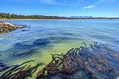 Feather boa kelp (Egregia menziesii) on pacific shore, Pacific Rim, South Tofino, Vancouver Island, British Columbia, Canada