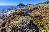 Rocks at low tide, covered with mussels and anatifes., Pacific Rim, South Tofino, Vancouver Island, British Columbia, Canada