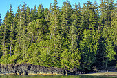 Giant conifers on the Pacific coast. Western Hemlock, Western Red Cedar and Pacific Silver Fir achieve impressive sizes here due to the mild climate all year long (almost continuous growth). Pacific Rim, Tofino South, Vancouver Island, British Columbia, Canada