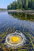 Fried egg Jellyfish (Phacellophora camtschatica) stranded in the kelps. Pacific Rim, Tofino South, Vancouver Island, British Columbia, Canada