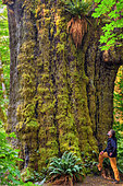 Sitka Spruce (Picea sitchensis) in the rainforest of Vancouver Island. Some rare specimens reach 100 m high - 90% of the rainforest of the island has been exploited and the beautiful trees are exceptional - Pacific Rim National Park - Vancouver Island - British Columbia - Canada