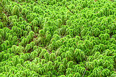 Sphagnum in the rainforest of the Pacific littoral., Vancouver Island, British Columbia, Canada