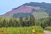 Coupes à blanc dans la forêt pluviale de l'ile de Vancouver. 90 % de la forêt pluviale de l'ile a été exploitée et les beaux arbres sont exceptionnels, île de Vancouver, Colombie-Britannique, Canada