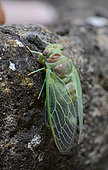 Cicada at the exit of exuvia, Labeaume, Ardèche, France