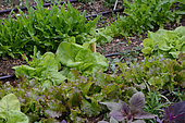 Salad seedlings in a vegetable garden, Labeaume, Ardèche, France
