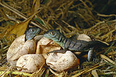 Green Basilisk (Basiliscus plumifrons) hatchlings, Costa Rica