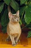Blue Burmese Cat in front of a green plant