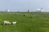 Sheep of Iceland, adult and young. Flatey Island, Iceland.