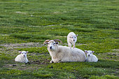 Sheep of Iceland, adult and young playing. Flatey Island, Iceland.