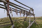 Fishes on dryers, Flatey Island, Iceland