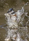 Martin-pêcheur d'Amérique (Megaceryle alcyon) femelle émergeant de l'eau avec un poisson dans la bec, Texas, USA