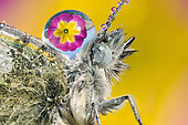 Drop of dew on the back of a Cabbage butterfly (Pieris rapae) reflecting a primrose, Luzzara, Reggio Emilia, Italy