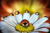 Ladybug on a daisy, Parma, Italy