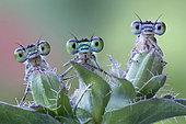 Three damselflies on a plant, Luzzara, Reggio Emilia, Italy