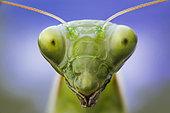 Portrait of Praying mantis (Mantis religiosa) in a forest near the Po river, Luzzara, Reggio Emilia, northern Italy