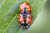 Two mating ladybugs with drops of tew on their bodies, Luzzara, Reggio Emilia, Italy
