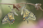 Old World Swallowtail (Papilio machaon) after mating, Luzzara Reggio Emilia Italy