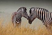 Zebra baby next to his mother, Etosha National Park, Namibia