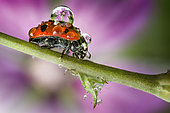 Sevenspotted lady beetle (Coccinella septempunctata) with a drop of rain on its body, Pomponesco, Mantova, Lombardy, Italy
