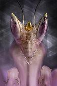 Portrait of Malaysian orchid mantis (hymenopus coronatus)