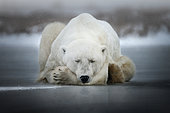 Polar bear (Ursus maritimus) resting on a frozen puddle, Churchill, Manitoba, Canada