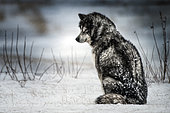 Canadian Eskimo Dog waiting in the blizzard, Churchill, Manitoba, Canada