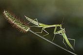 Female Praying mantis (Mantis religiosa) eating another female, Luzzara, Reggio Emilia, Italy
